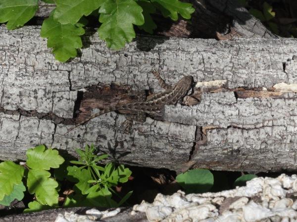 Edgewood park western fence lizard
